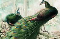 fantastic-peacocks-2.png